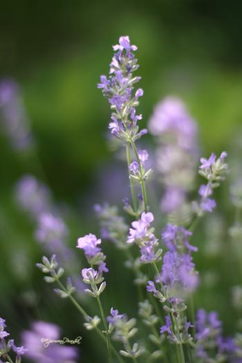 Mom's lavender